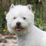 West Highland White Terrier – czy warto go mieć?