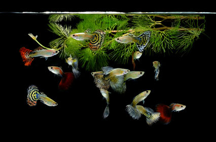 gupiki - swietne rybki do akwarium dla dziecka